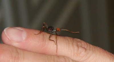 Baby leaf insect on finger