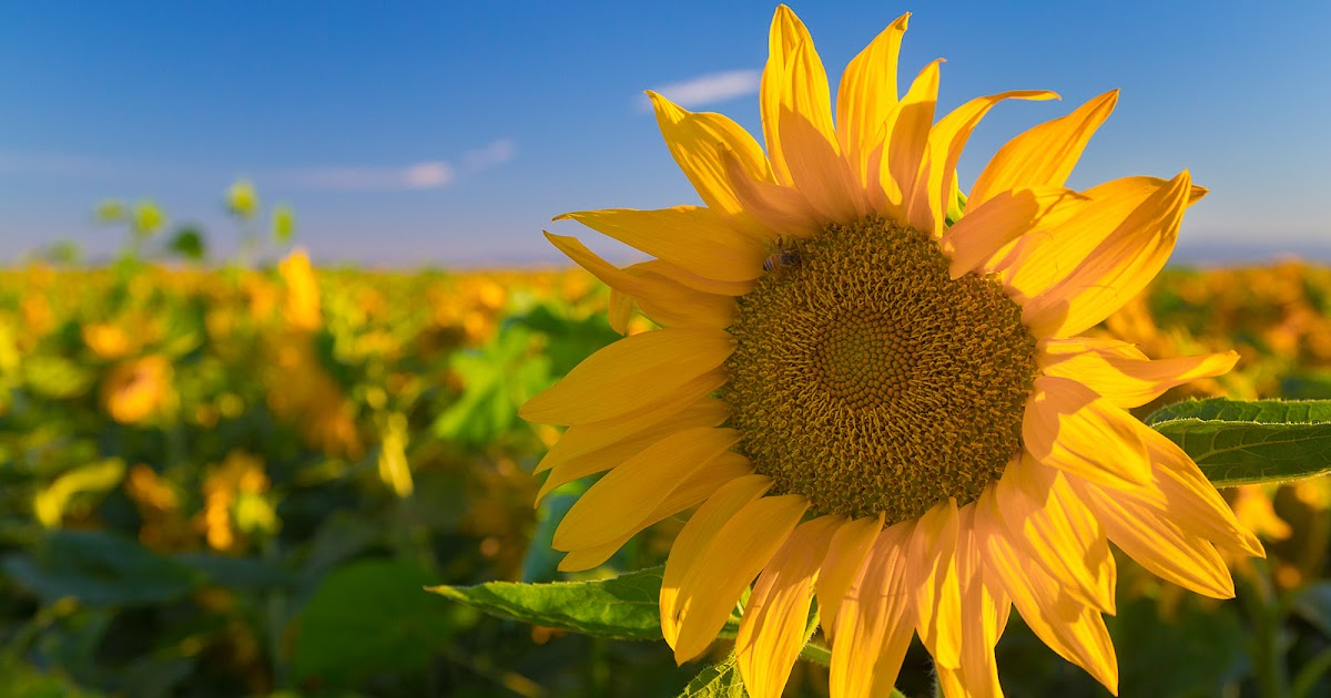 Anthony dunn photography sunflowers in the sacramento valley for Anthony s italian cuisine sacramento