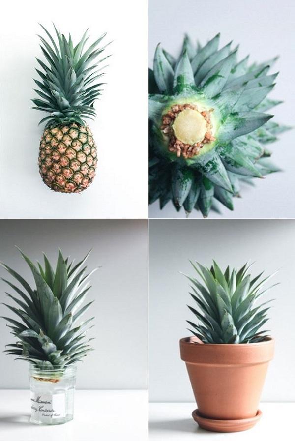 Faire pousser un ananas sakarton - Faire pousser des endives dans l eau ...