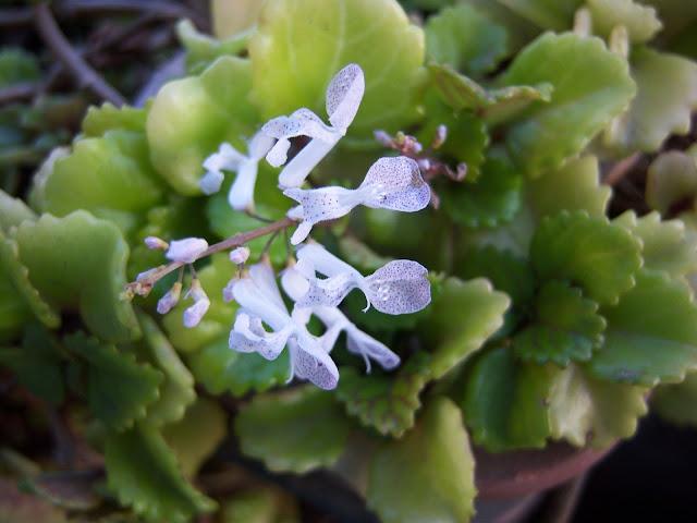 Plantas de la buena suerte bot nic serrat for Planta del dinero feng shui
