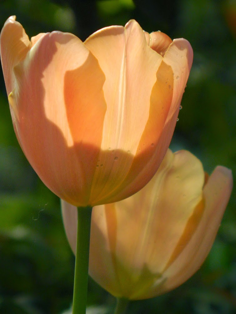 Peach tulips backlit Allan Gardens Conservatory 2015 Spring Flower Show by garden muses-not another Toronto gardening blog