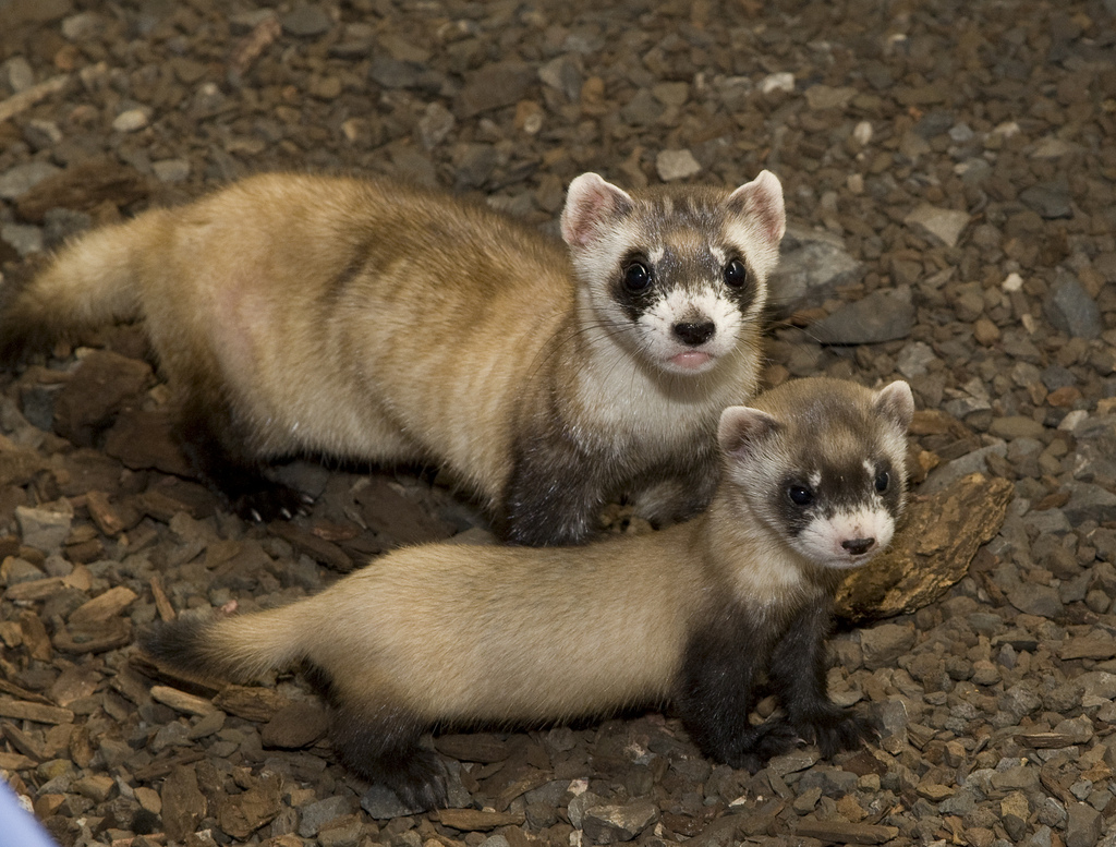 white footed ferret Explore and share black footed ferret wallpaper on wallpapersafari.