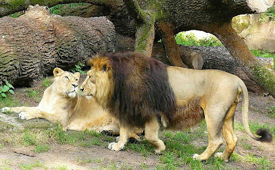 about lion facts about lion lion names