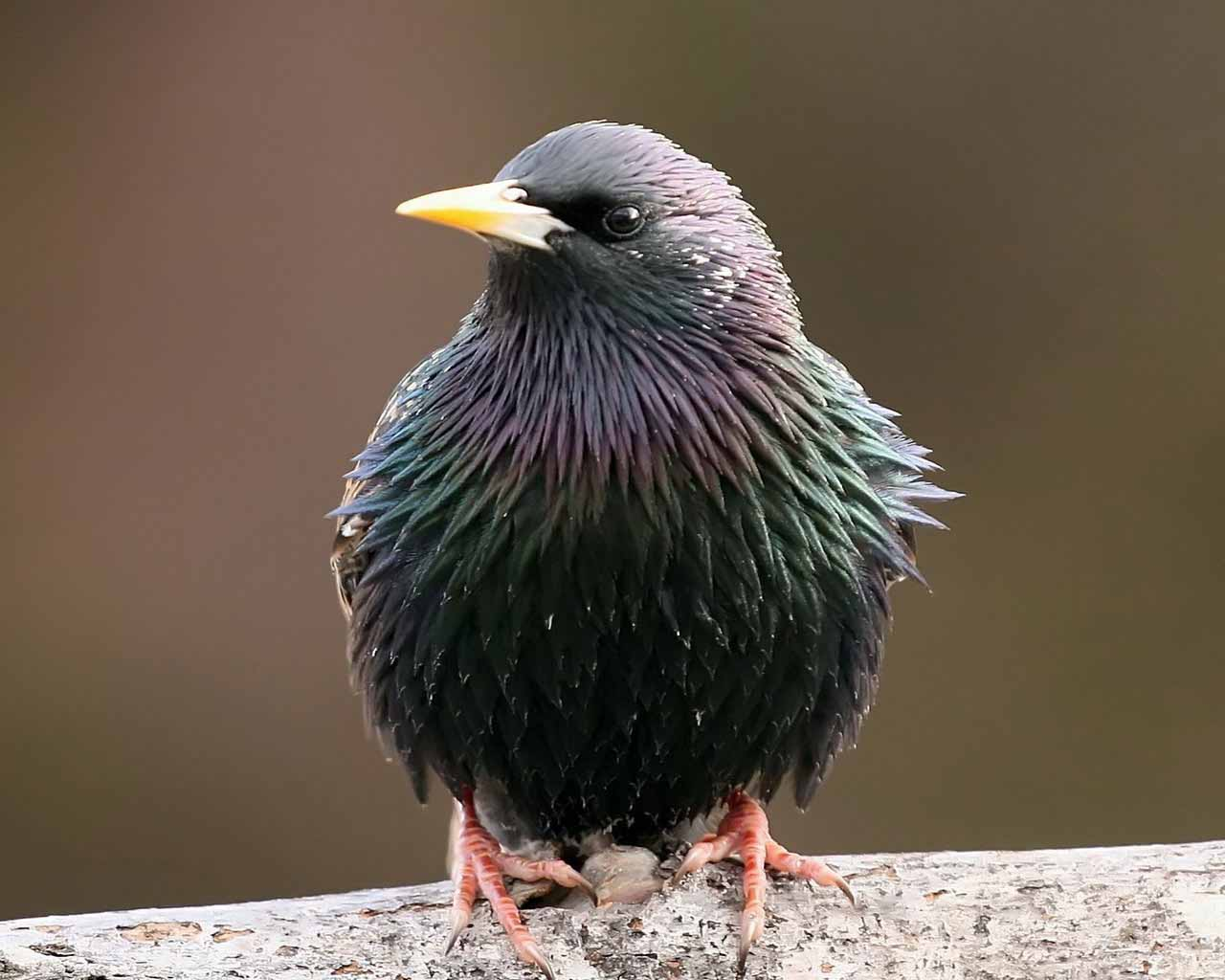 HD Wallpapers: Starling Bird Wallpapers