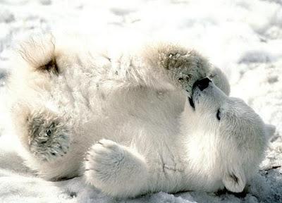 foto de oso polar pequeño jugando en la nieve