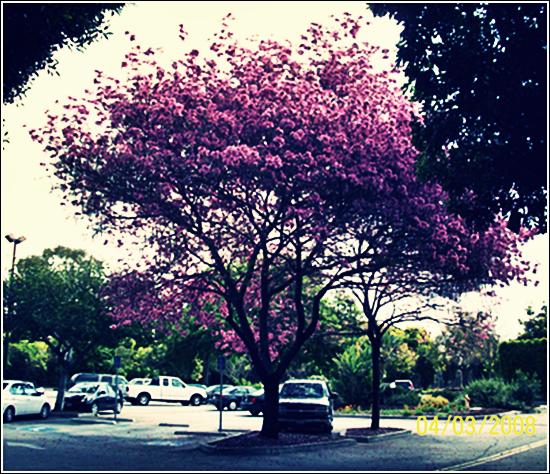 Pink-Trumpet-Tree