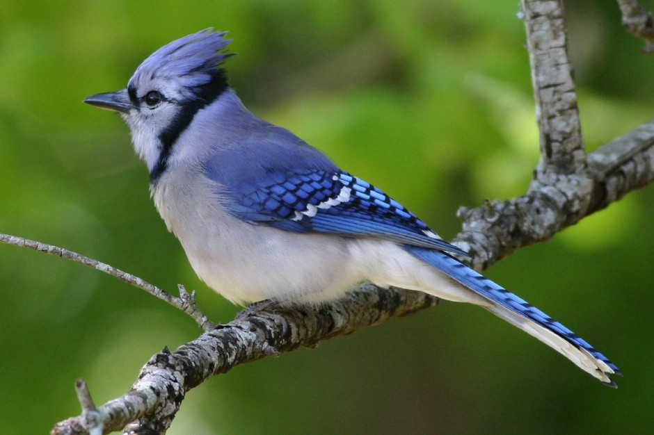 The Blue Jay   Canadian Lovely Bird Basic Facts ...