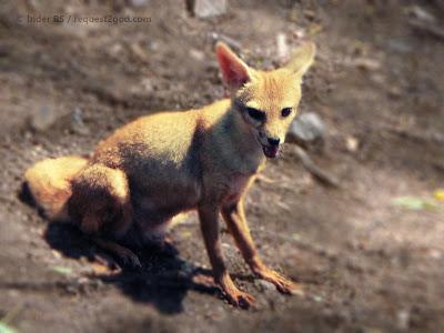 animals, fox, Indian fox, Bengal fox, fox puppy