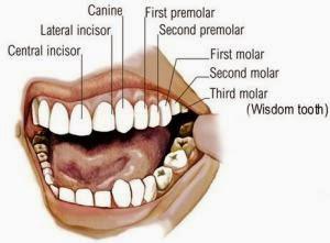 Jenis-Jenis Gigi