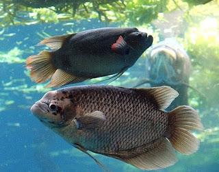 cara budidaya ikan gurame agar cepat besar,kolam tembok,kolam terpal,kolam beton,di kolam tanah,makalah,video budidaya,kolam terpal pdf,
