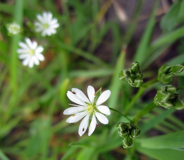 Common or lesser stitchwort, Stellaria graminea, on a dry meadow in Keston.  14 May 2011.