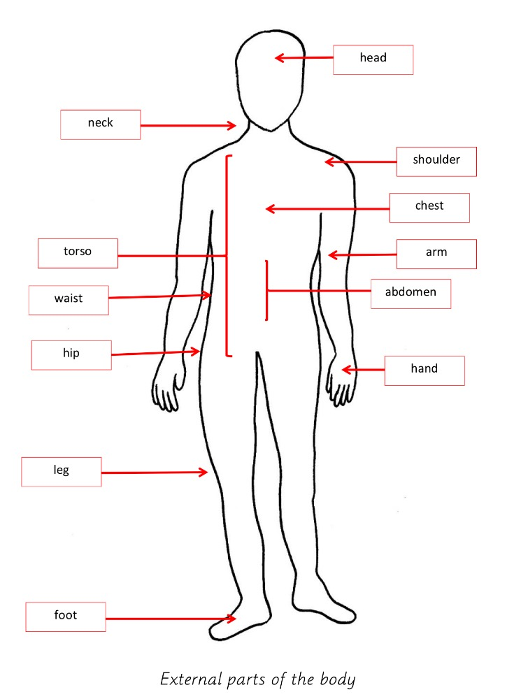 Elementary Observations: External Parts of the Body