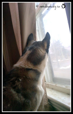 My Siberian Husky, the window watcher