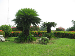 Sago palm is suitable to be planted outdoors