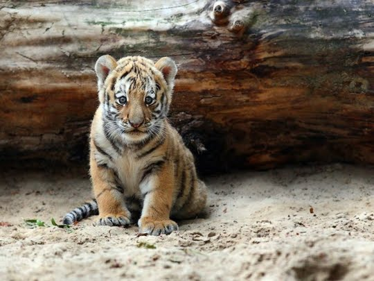 <b>Tiger Cubs Wallpapers</b> | HD <b>Wallpapers</b> (High Definition) | Free ...