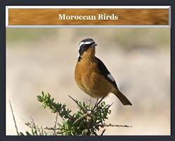 Moroccan Birds