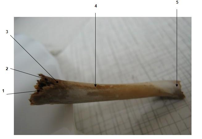 FarmUpibi: Clasificación morfológica de los huesos