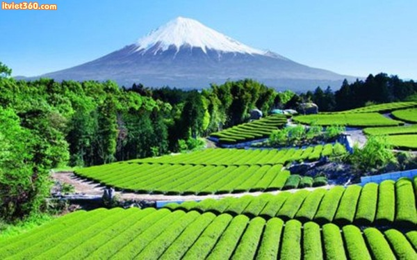 Tea Garden near Mt. Fuji, Japan