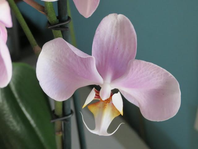 Orquídea, Beatriz 2015