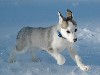 cute little Siberian Husky dog breed in the snow picture download free puppy images