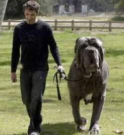 dog named hercules has been recently awarded as world s biggest dog ...