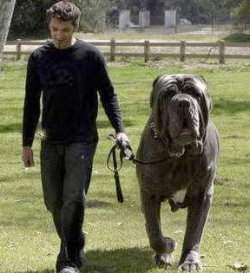 world s largest dog named hercules has been recently awarded as world
