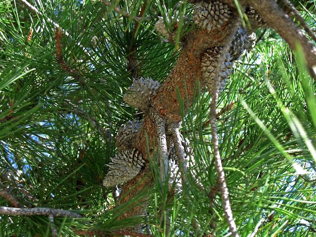 Bishop pine cones