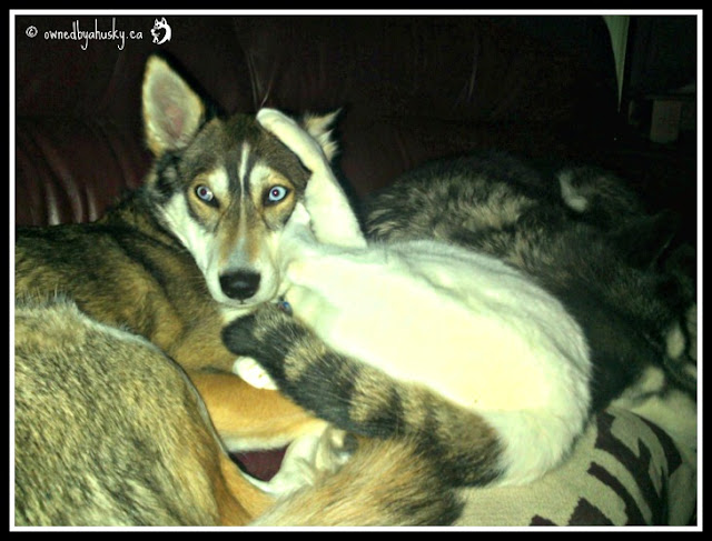 Sofa Wars - Husky VS Cat