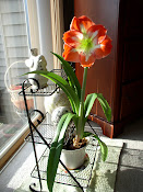 My Beautiful Amaryllis