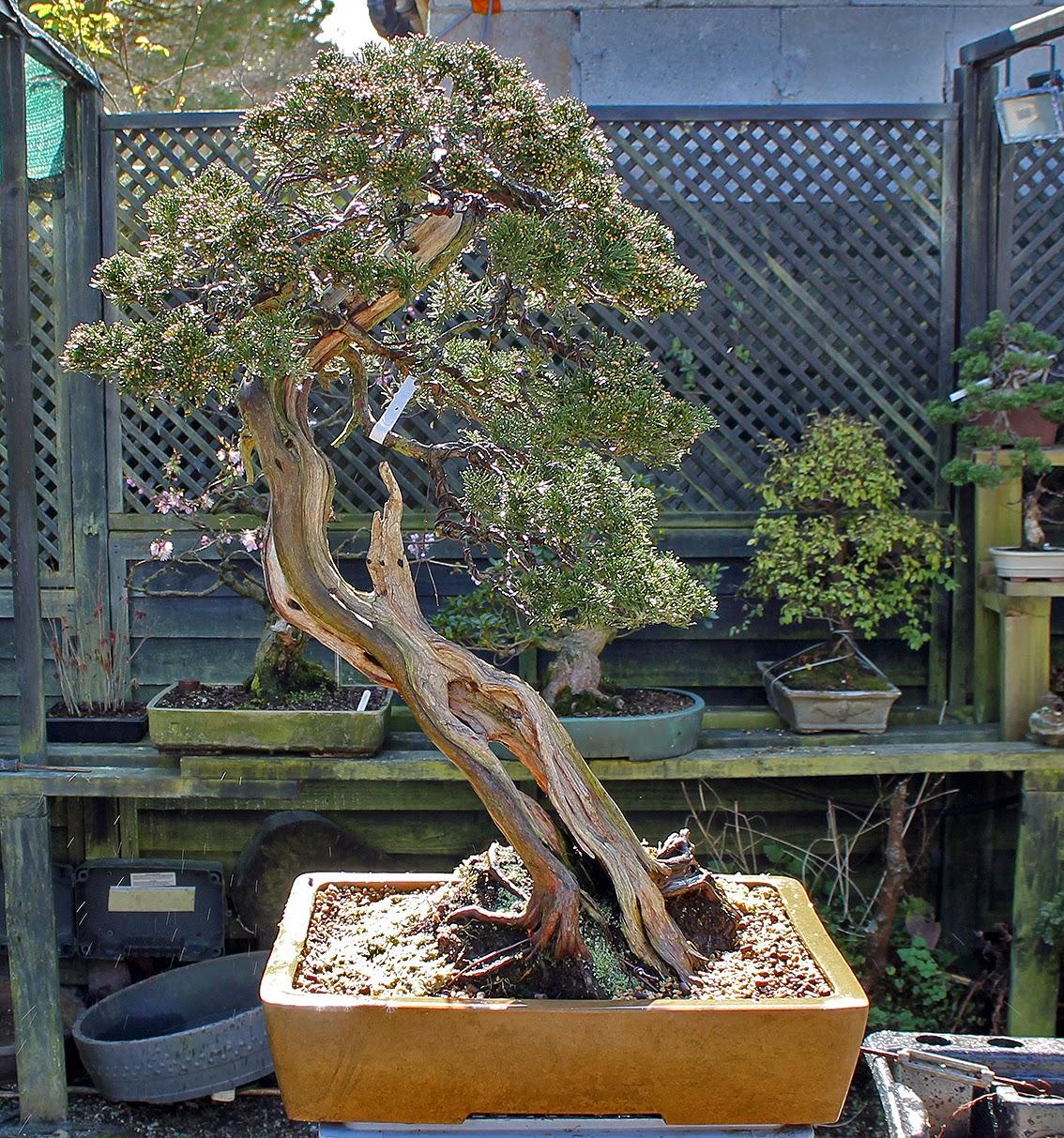 Little Cornish Trees Repotting Day 2