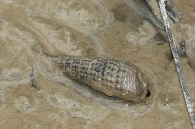 mud creeper (Family Batilariidae)