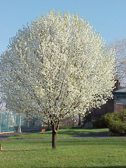 Devotionals 4 him are you an almug wood or bradford pears Bradford pear