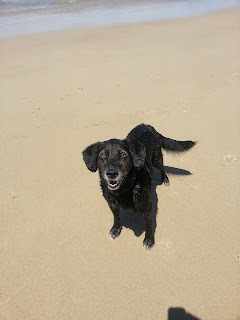 Black labrador type dog on beach