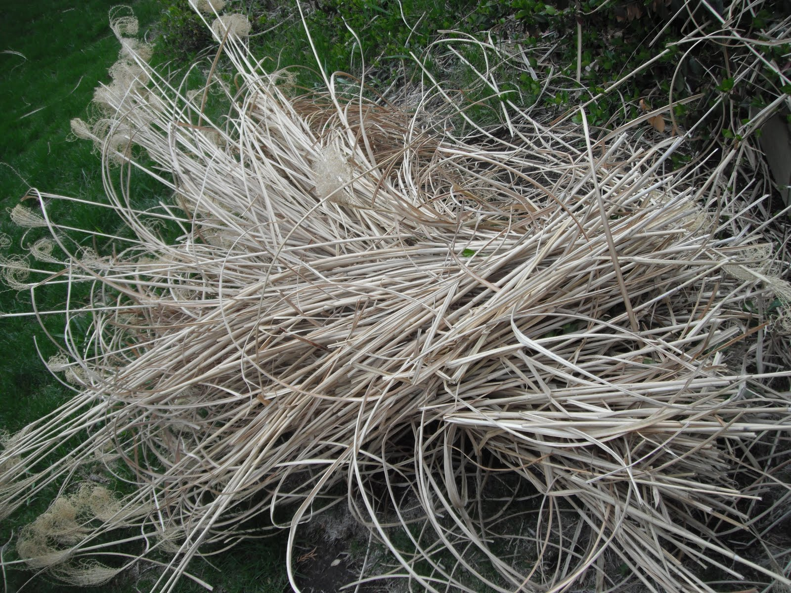 P art y how to take care of your ornamental grasses for Small ornamental grasses
