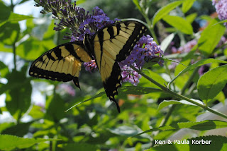 Injured swallowtail on Butterfly bush
