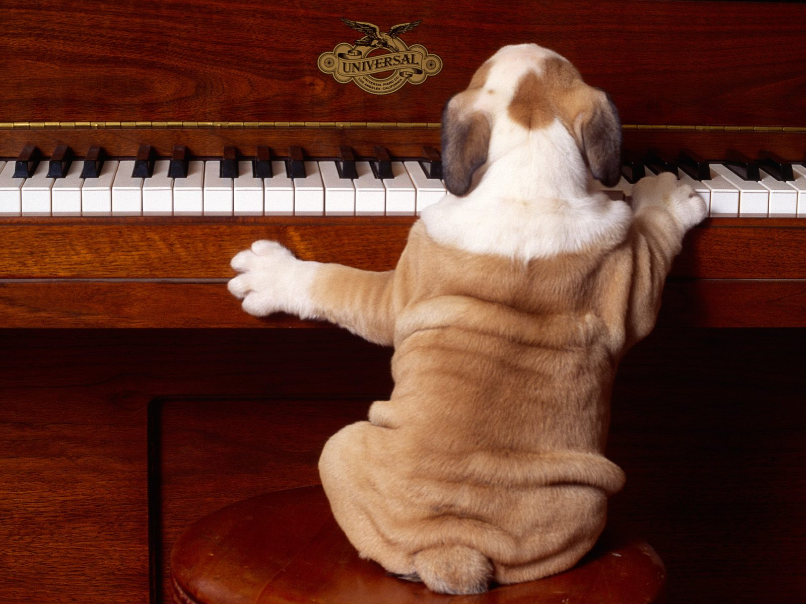 Dog Playing Piano || Top Wallpapers Download .blogspot.com