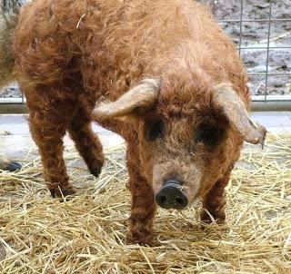 Mangalista Uma raça de Porco Que Se Parece Ovelha