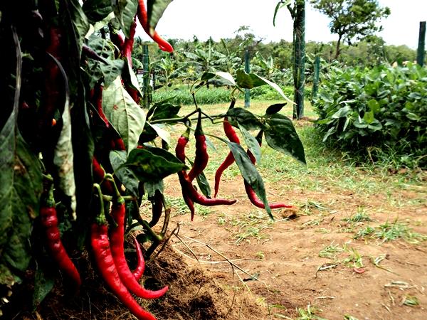 Hot chilli--Bataatha-Agriculture Technology Park