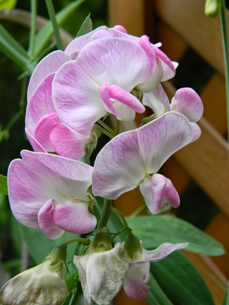 Lathyrus latifolius perennial pea by garden muses-not another Toronto gardening blog