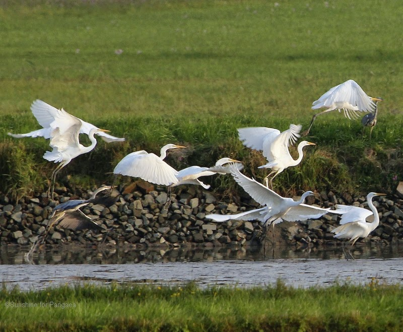 Flock of Great Egrets starting to fly