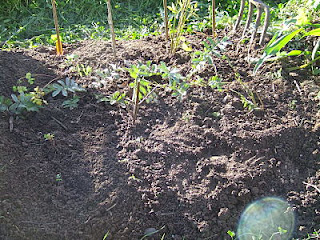 Replanted skirret bed