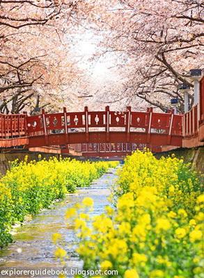 bunga sakura di Korea