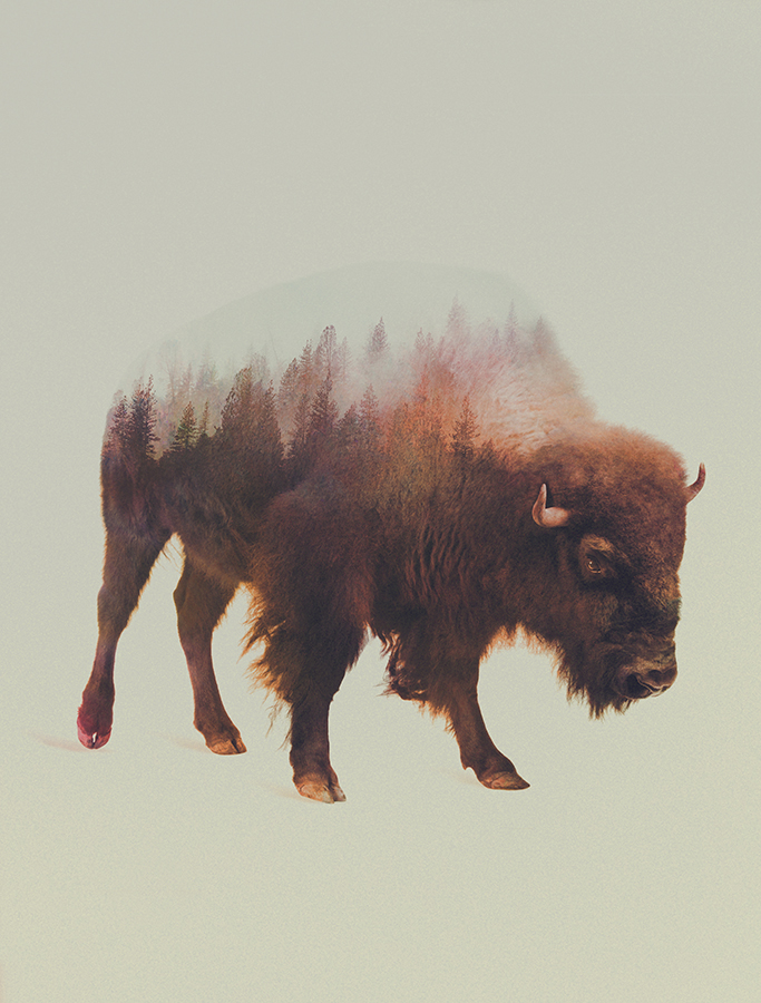 01-Bison-Andreas-Lie-Animals-in-Photographic-Double-Exposures-www-designstack-co