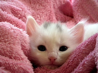 White kitten snuggled in a blanket