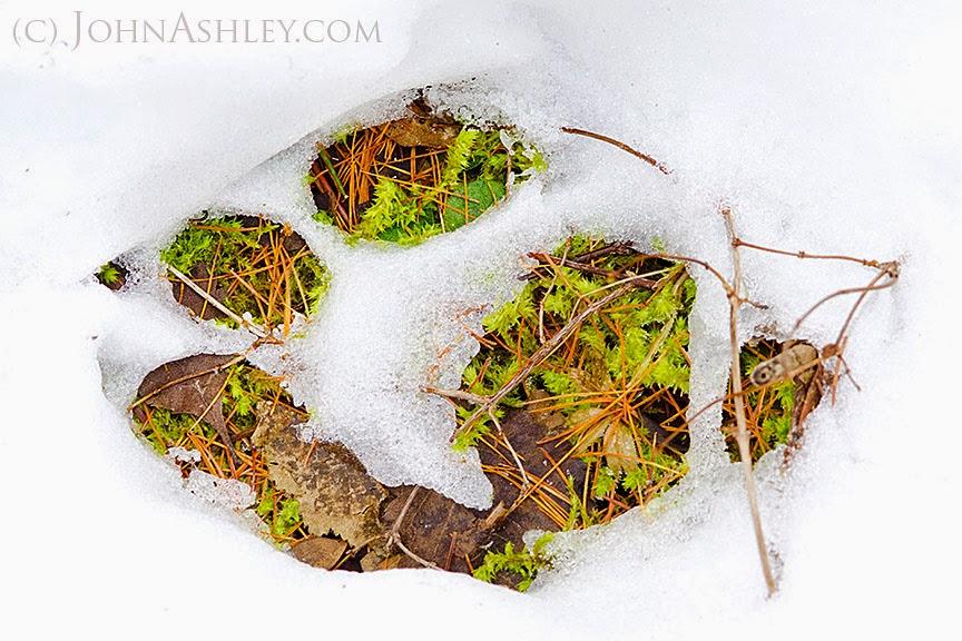 Wolf track in snow (c) John Ashley