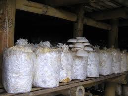 budidaya, jamur, tiram, putih