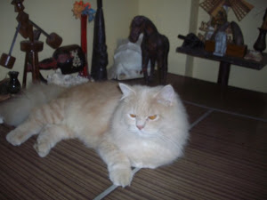 """Matata""  pet tomcat fit for the ""CAT SHOW""."