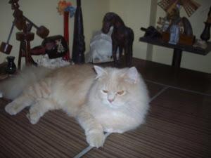 """Matata""  pet tomcat fit for the ""CAT SHOW""."