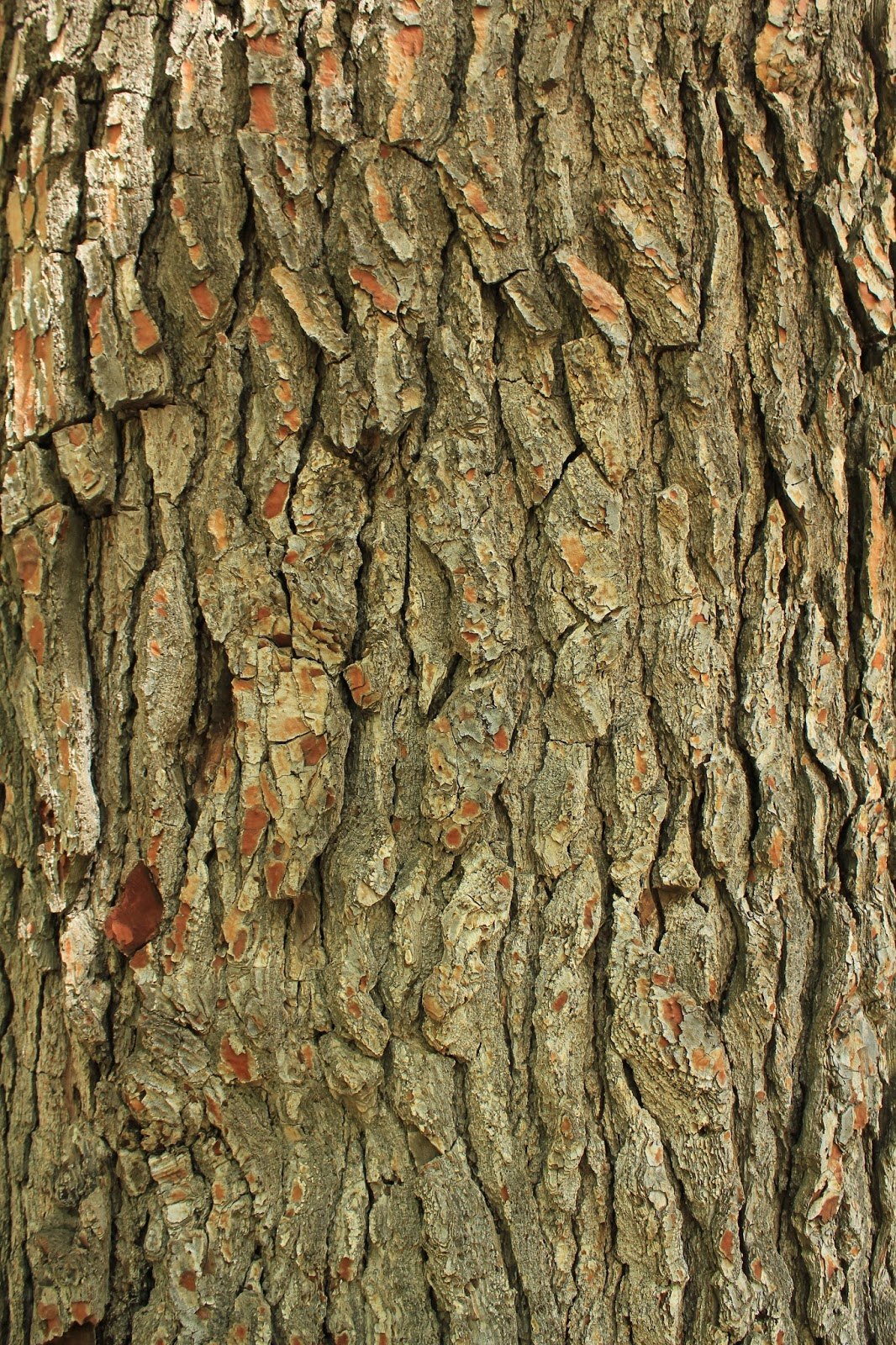 Rboles de albacete pino carrasco pinus halepensis - Corteza de pino ...