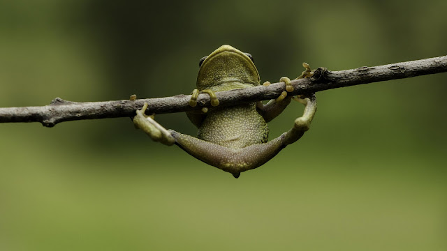 Rana Verde en una rama